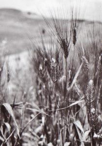 contadini-grano-cappello-spighe-1954