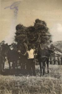 contadini-muli-con-covoni-sul-traino-z.a.mostazza