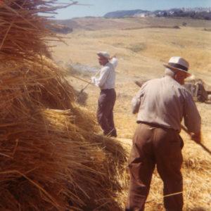 contadini-trebiatura-alle-prese-dei-covoni-morelli