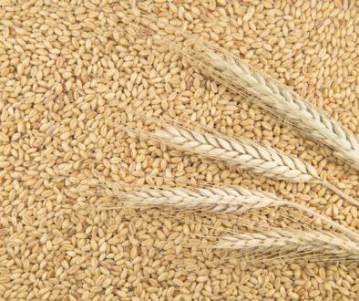 cereali-grano-by-teodora-d-fotolia-750